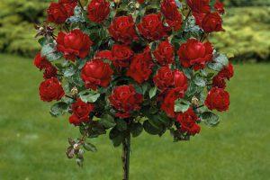 Produktbild von Rosenstämmchen, 3 Stück, rosa / rot und gelb